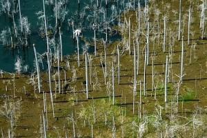 Árvores mortas e tapete de alga na represa do Lajeado, TO - Foto: Margi Moss