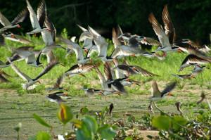 Voo de talha-mares na beira do rio Paraguai. Foto Margi Moss